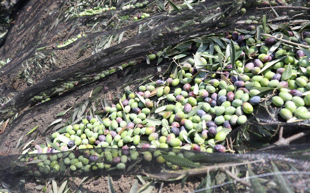 recolección de aceitunas de forma tradicional de la variedad Fantoio
