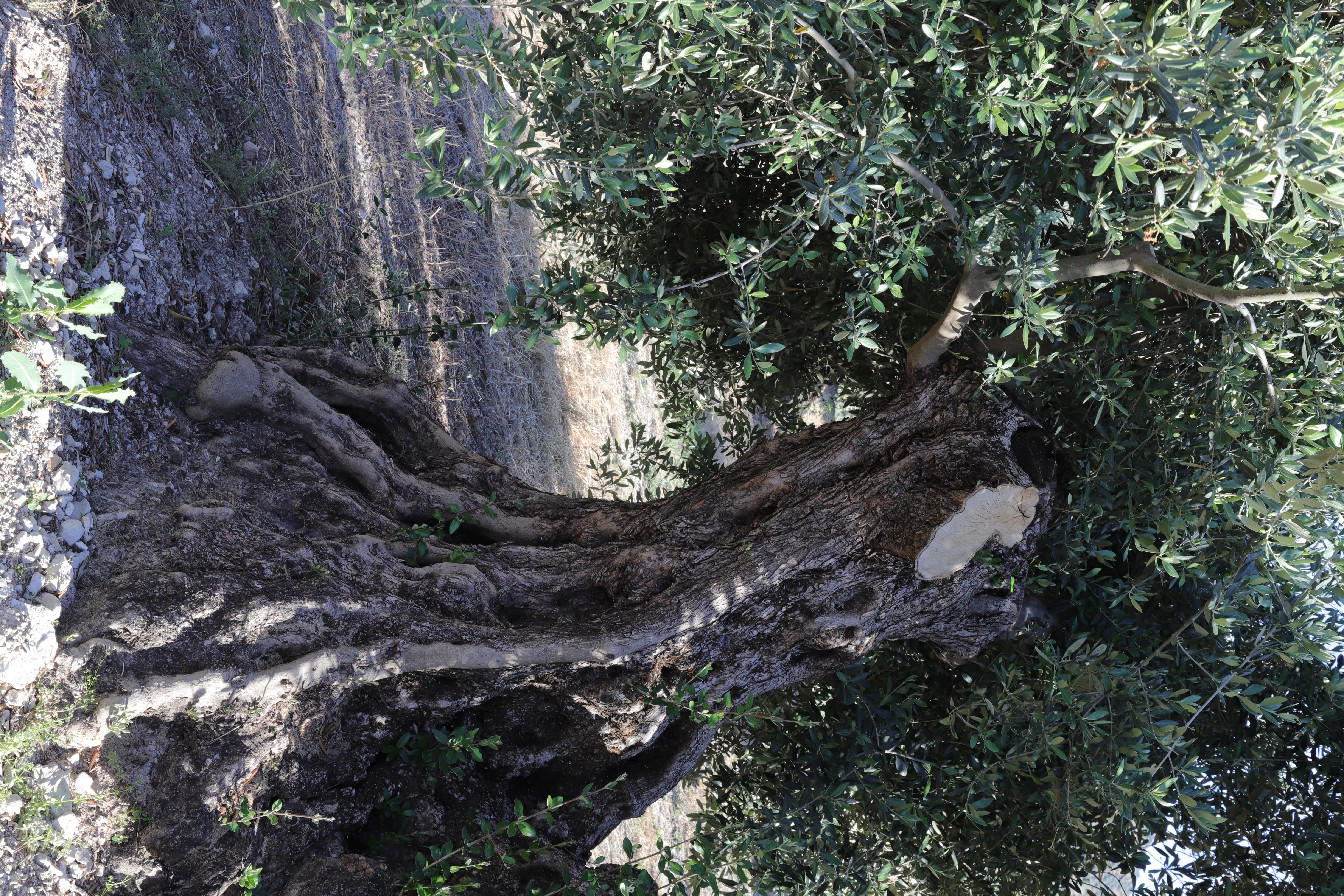 Olivo viejo de la joyadel monte, como se aprecio, el tronco es viejo y el olivo en este caso es de la variedad picudo.