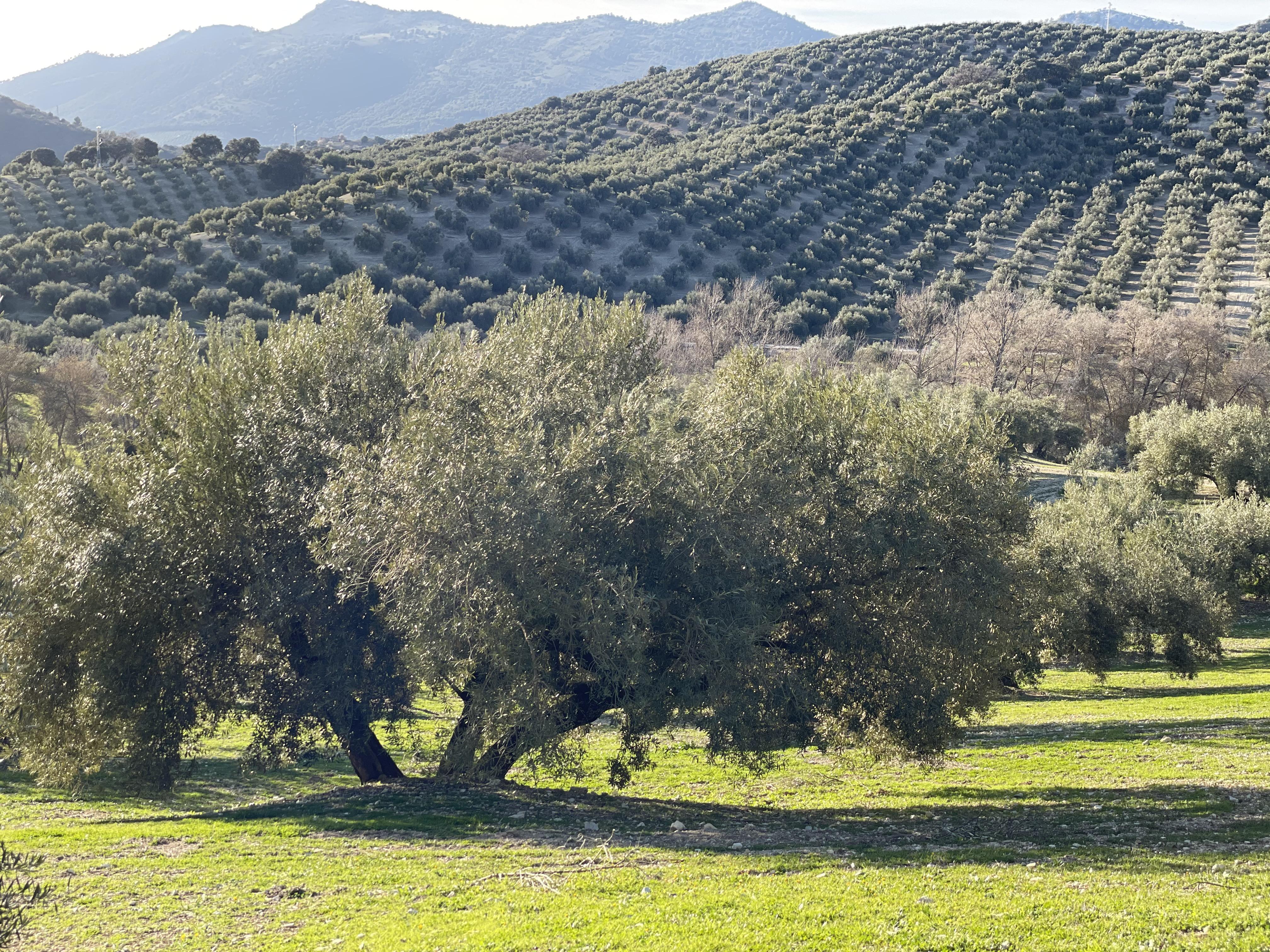 Zona llana a pie de sierra donde los olivos son grandes y el terreno en plena sierra de la subbética cordobesa