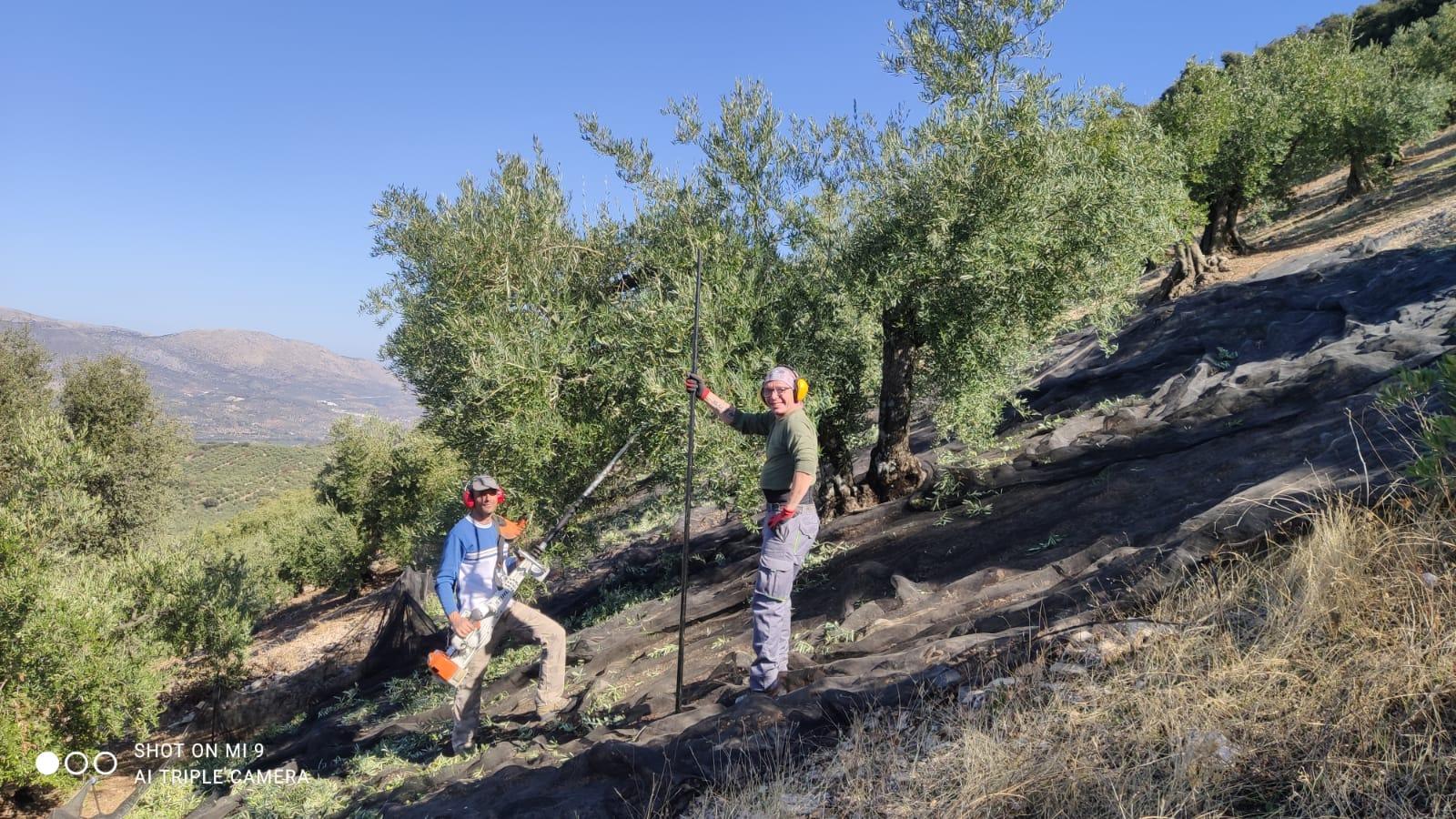 Un dia de trabajo en nuestra finca la joya del monte de Priego de Córdoba, en donde se aprecia la recogida de aceituna en nuestros olivos de montaña con gran pendiente.