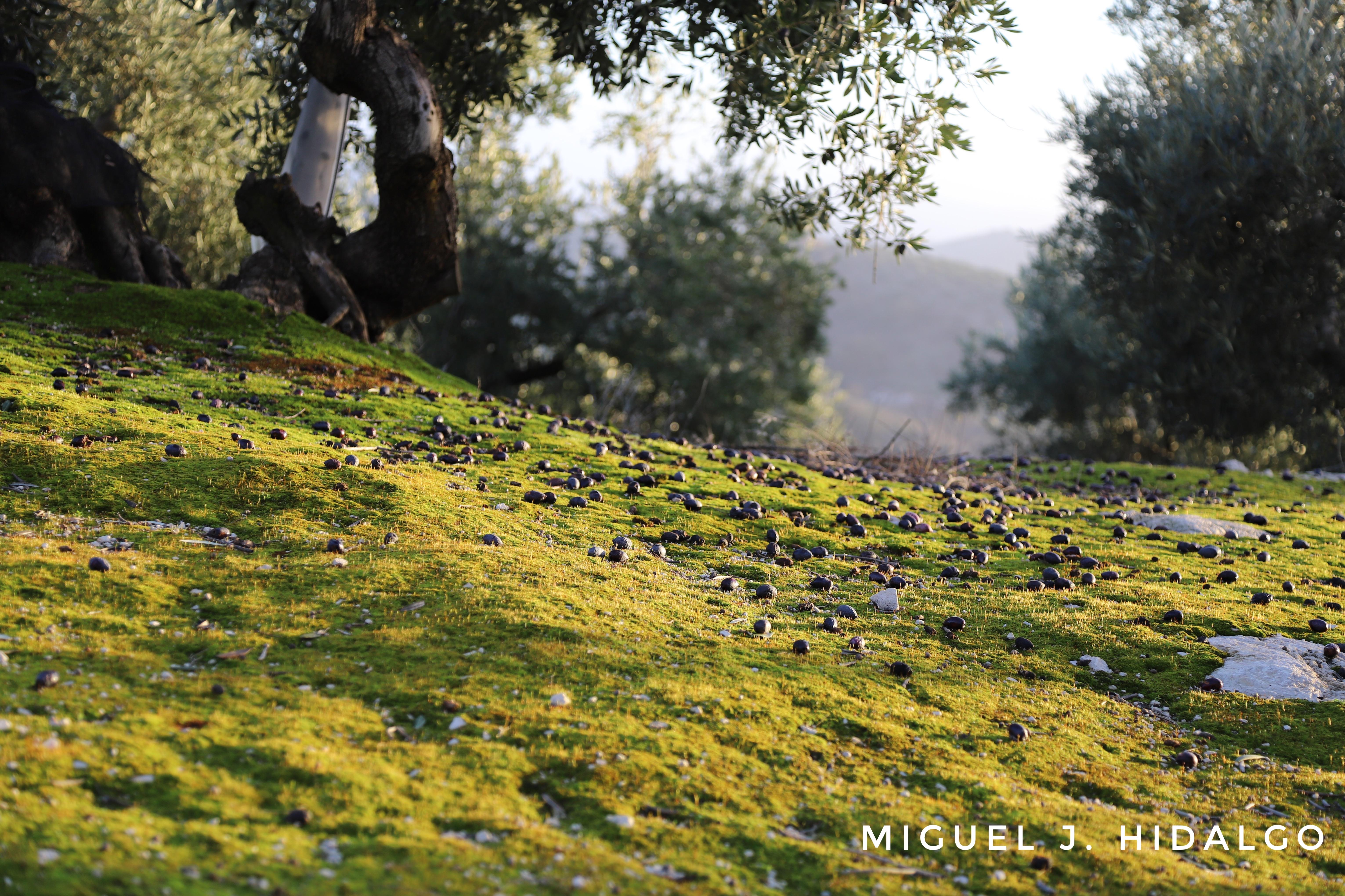 Olivo viejo de montaña, dondo las aceituna ya estan caidas por los suelos.